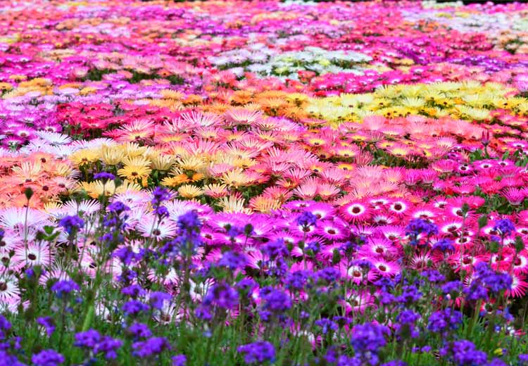Flowers of the season nokonoshima island park late march to early may mightylinksfo